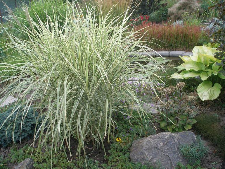 Пеннисетум — злаковое растение