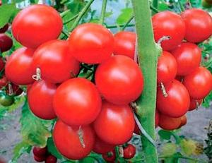 Сорта помидоров для подмосковья