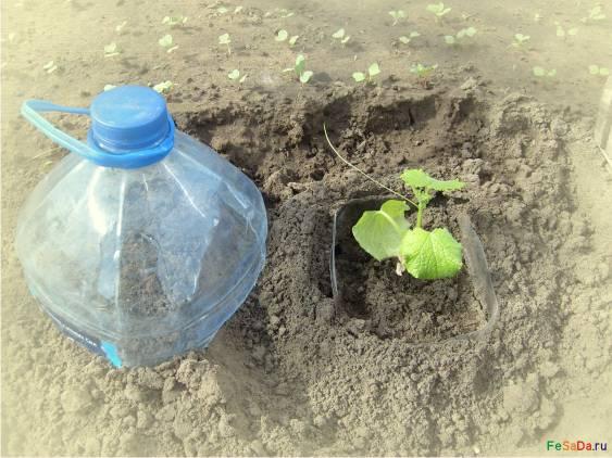 Как вырастить огурцы в бутылках