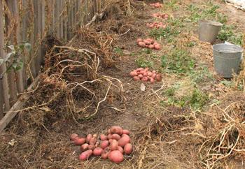 Как вырастить картошку под соломой видео