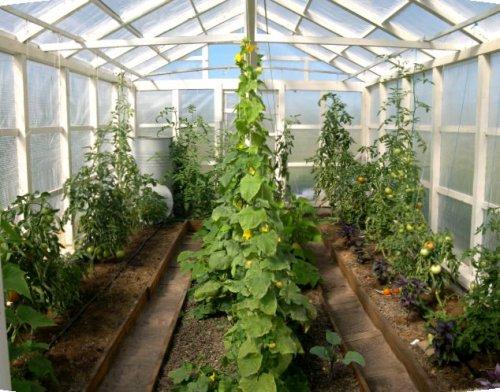 Сорта помидоров для теплиц - Урала, Сибири, видео