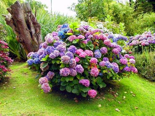 Фото садовых гортензий и уход