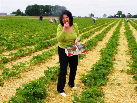 Когда собирать клубнику в совхозе им Ленина