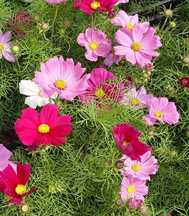 Семена цветов однолетних купить лучшие сорта по каталогу