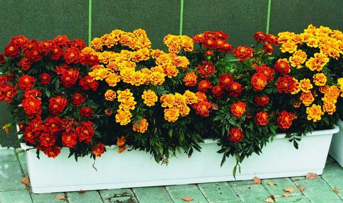 Календула балконная выращивание 88