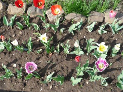 Посадка луковиц тюльпанов когда выкапывать и когда садить 6