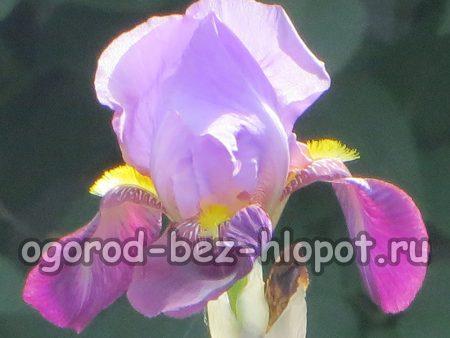 Почему не цветут ирисы на наших садовых участках