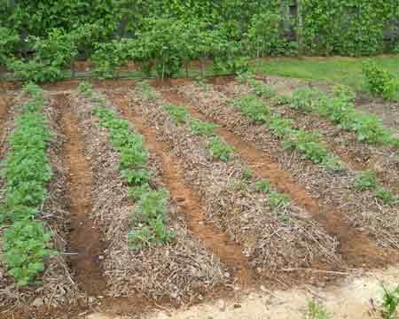 как сажать картофель для хорошего урожая