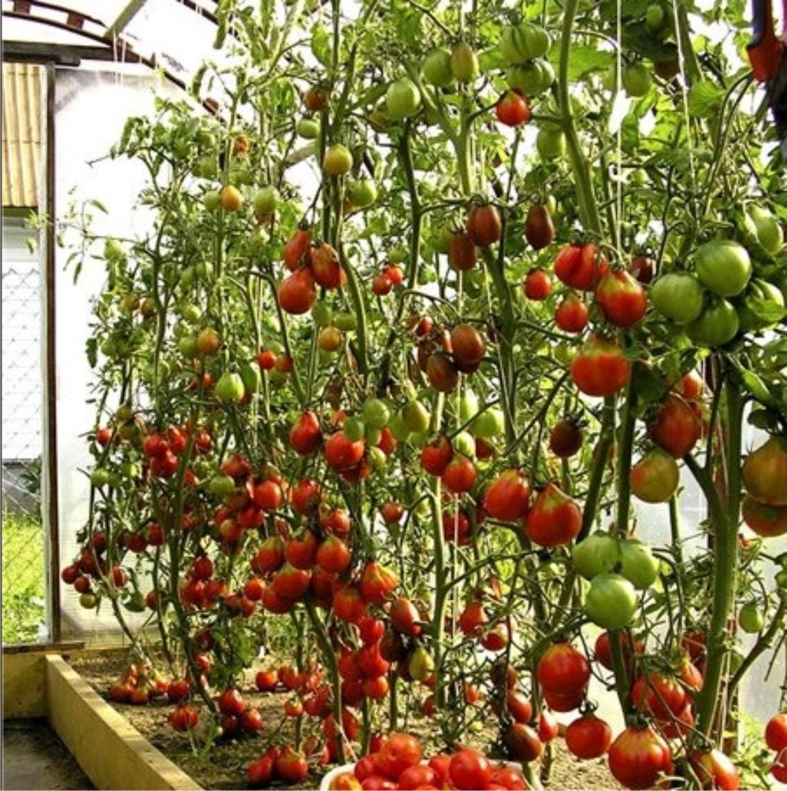 Чем подкормить помидоры в теплице через 2 недели после посад.
