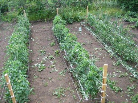 Как выбирать помидоры для рассады 50