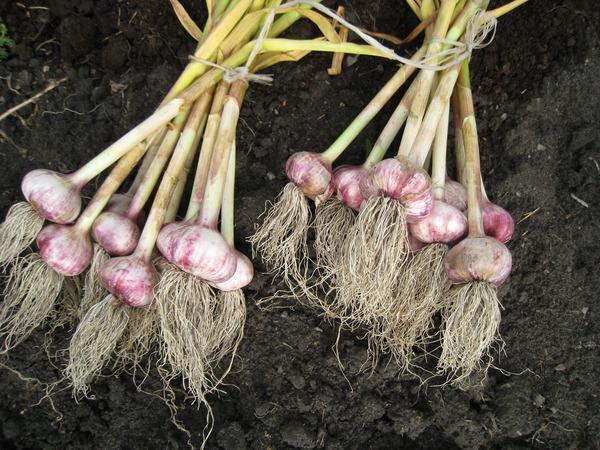 Как сажать чеснок луковичный 5