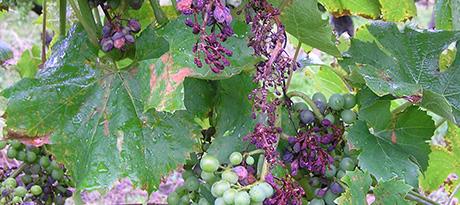 Болезни винограда и их лечение фото