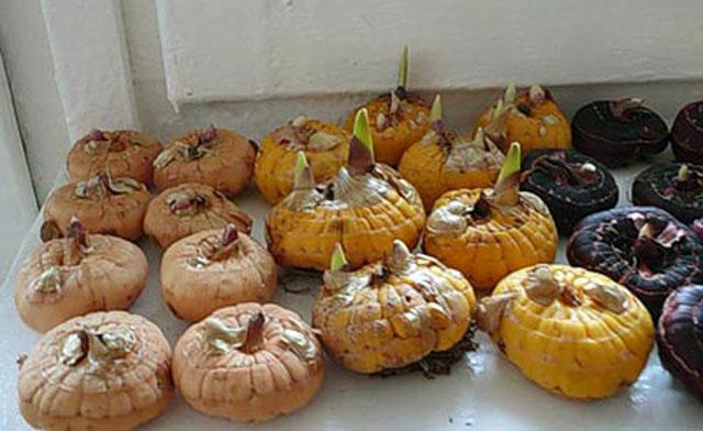 Гладиолусы выращивание хранение луковиц 18