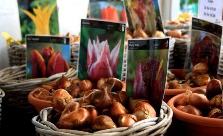 о посадке луковиц тюльпана