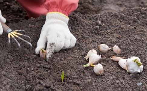 Выращивание чеснока из семян (бульбочек)
