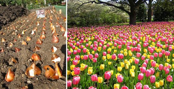 Когда посадка тюльпанов осенью