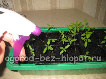 молодая рассада помидоров