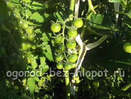 сформировавшийся куст помидора