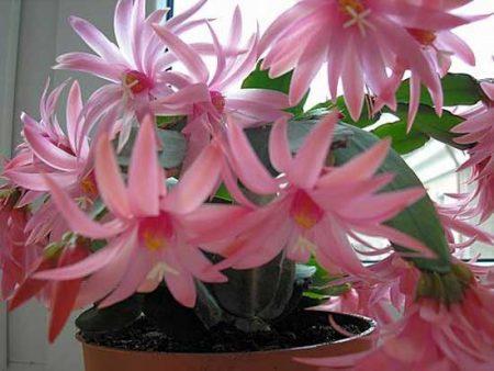 Цветок декабрист как ухаживать в домашних условиях