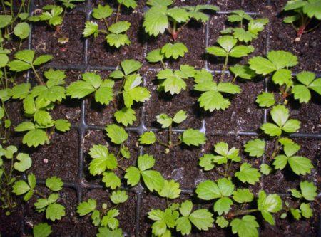Когда сеять семена клубники на рассаду