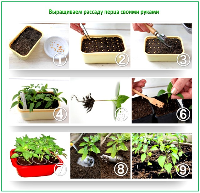 Как посадить семена перца в домашних условиях - ЛЕГИОН