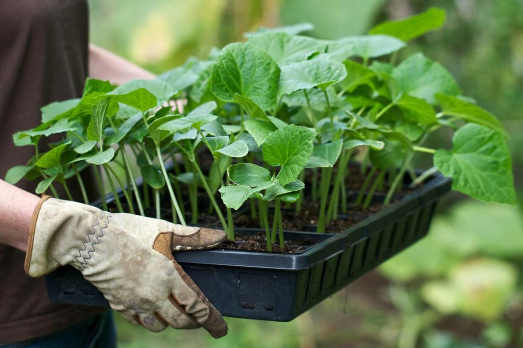 Баклажаны китайский способ выращивания рассады