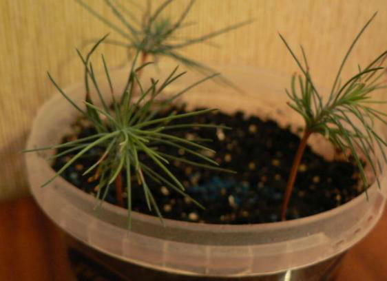 Уход за цветком аглаонемой в домашних условиях