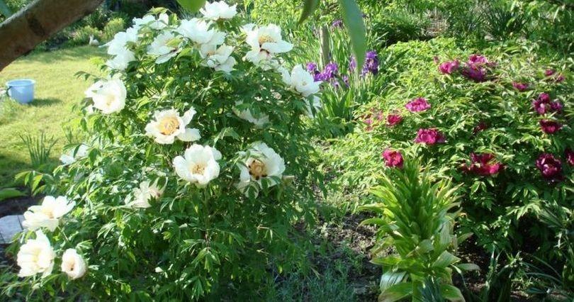 Древовидный пион  уход и выращивание посадка обрезка