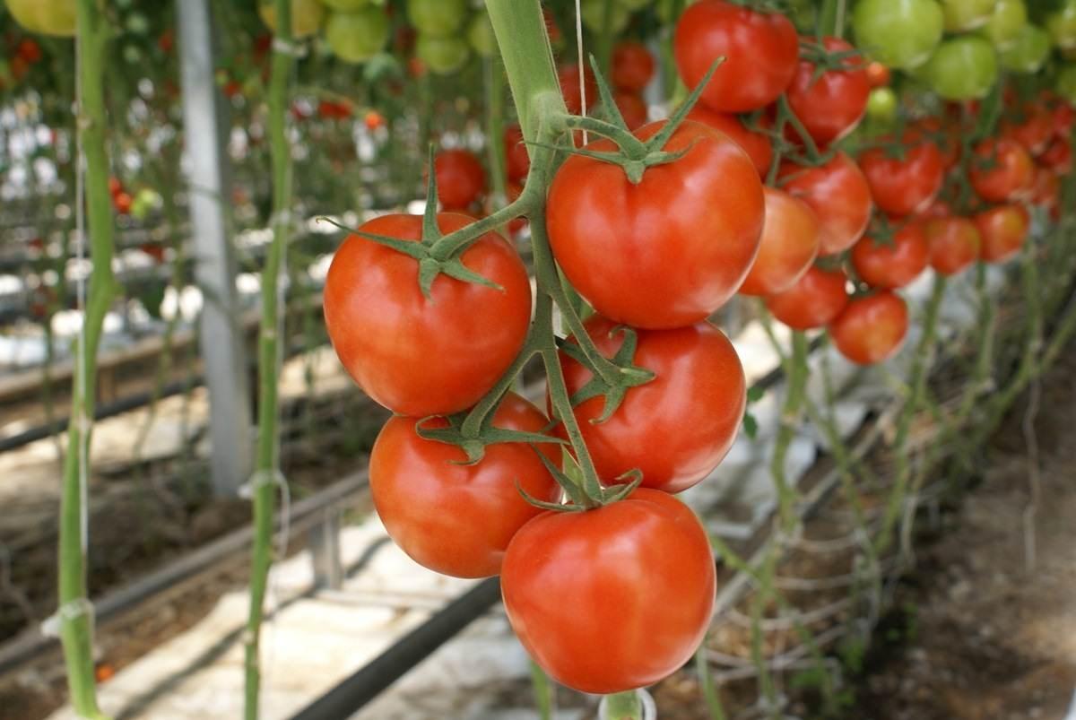 Семена томатов Купить семена томатов для теплиц