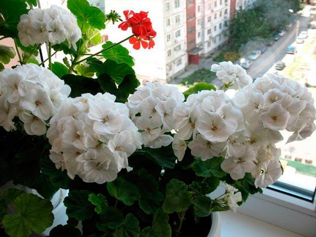 Пеларгония из семян Как вырастить герань дома из семян