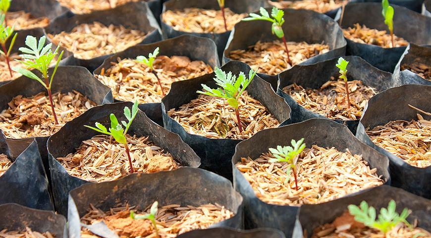 Когда сажать семена для рассады цветов
