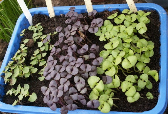 Выращивание базилика в открытом грунте в сибири 100