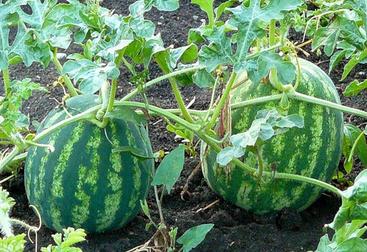 Выращивание арбузов на урале от а до я 977