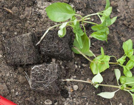 Размножение базилика рассадой. Продолжение. Посадка в грунт.
