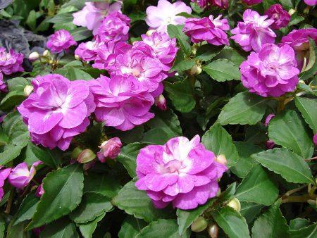 Бальзамин садовый: выращивание из семян
