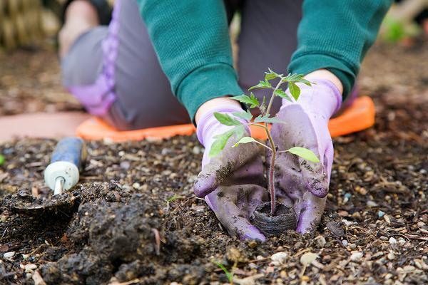 Благоприятные дни для посадки томатов в марте 2018