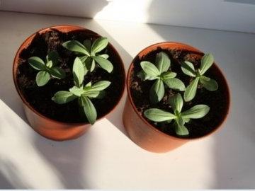 Эустома: выращивание из семян