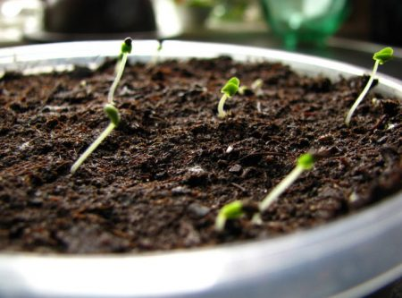 Лаванда: выращивание из семян в домашних условиях