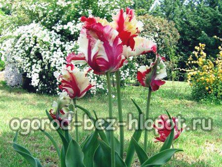 Выращивание тюльпанов, как это делать правильно