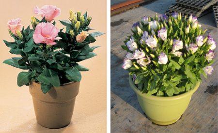 Эустома: выращивание из семян в домашних условиях, фото