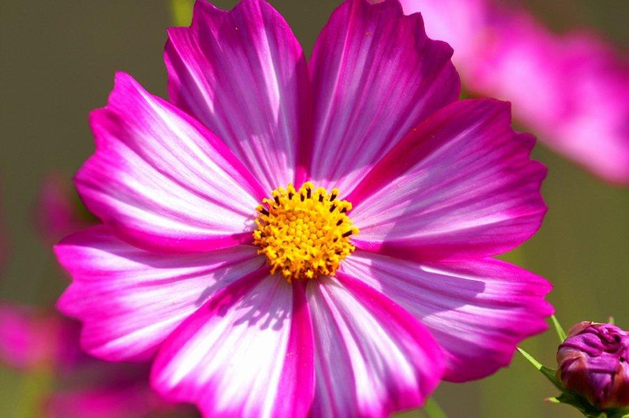 Однолетние цветы, цветущие все лето - название и фото