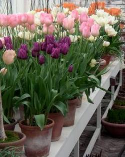 Как сохранить луковицы тюльпанов после выгонки к 8 марта
