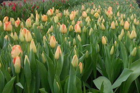 Как сохранить луковицы тюльпанов