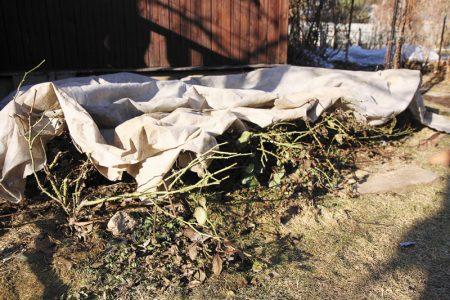 Когда раскрывать розы весной после зимних укрытий рекомендации