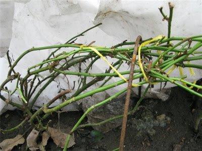 Когда раскрывать розы весной после зимних укрытий фото