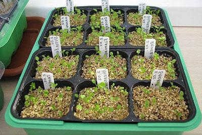 Примула: выращивание из семян в домашних условиях