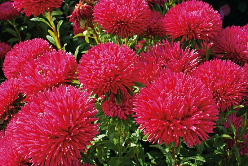 Астра цветы выращивание из семян