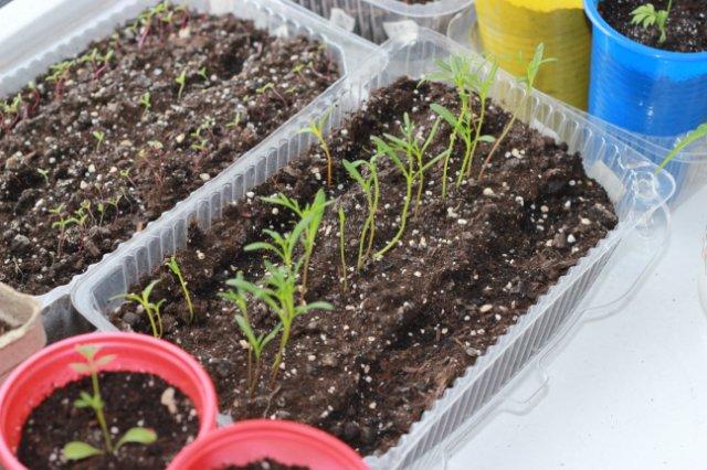 Космея выращивание из семян в домашних условиях пошагово