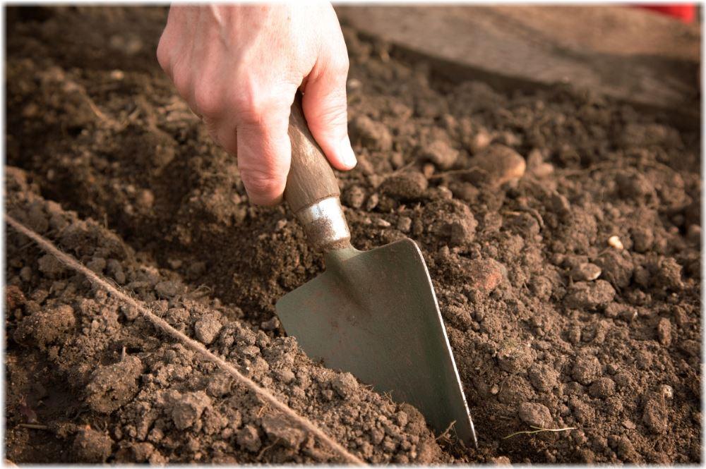 лук севок посадка и уход в открытом грунте