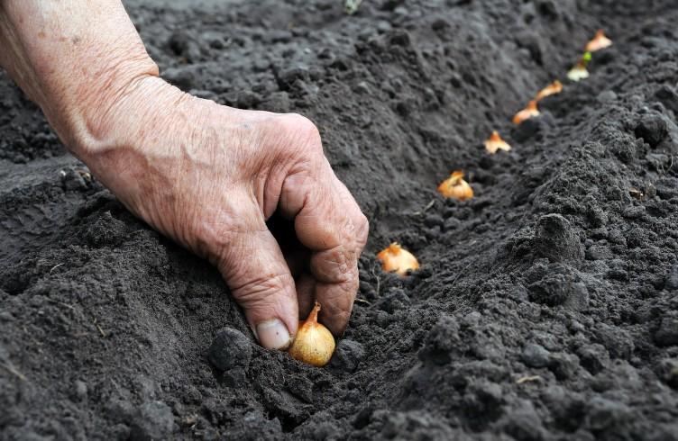 Сорт лук-севок под зиму как сажать 545